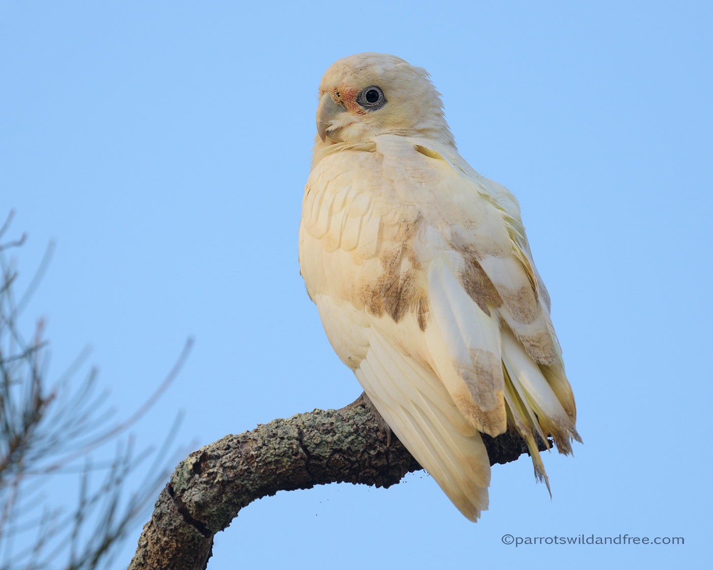 Little Corella with possible PBFD psittacine beak and feather disease